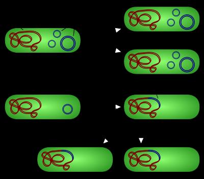 400px-Plasmid_replication_(english).svg